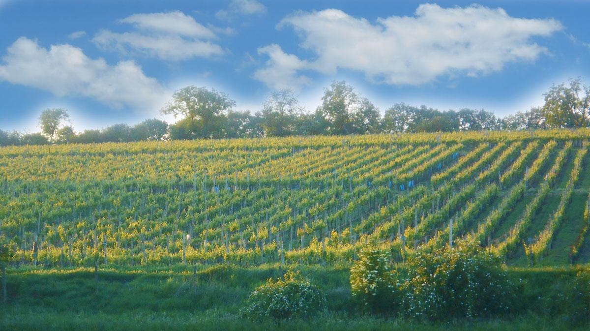 Vinice - Vinařství Vrba, Vrbovec Znojmo